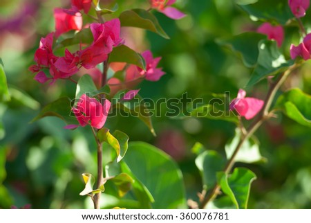Beautiful red bougainvillea over green background. Shallow DOF. - stock photo