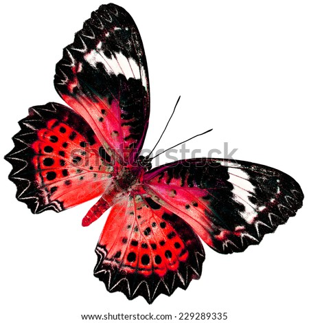 Beautiful Red Butterfly (Leopard Lacewing Butterfly) upper wing profile in fancy blue color isolated on white background - stock photo