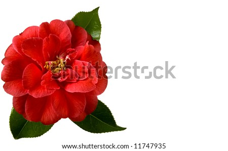 Beautiful red camellia on a white background with space for copy