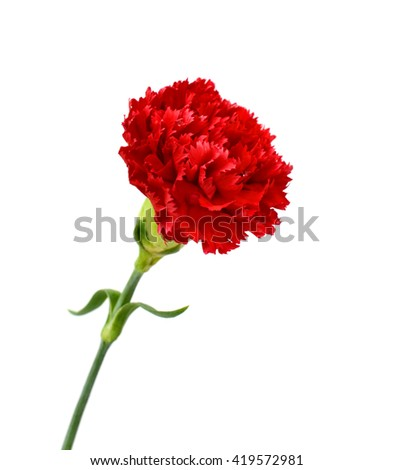 beautiful red carnation flower isolated on white background