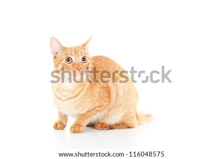 Beautiful red cat isolated pet