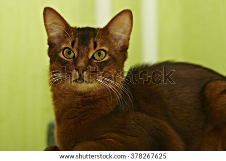 beautiful red cat Somali breed with green eyes - stock photo
