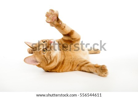 Beautiful red cat with ginger eyes posing while lying on a white background closeup