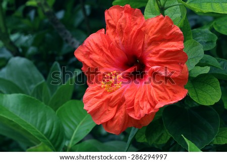 Beautiful Red China Rose Hibiscus Rosasinensis Symbolism Thoughtful