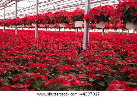 Beautiful red Christmas Poinsettias for sale at a green house. - stock photo