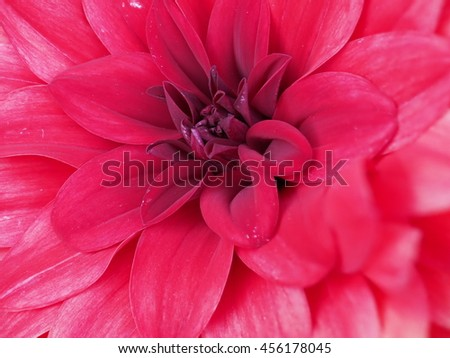 Beautiful red Dahlia flower in full blossom at extreme close up - stock photo
