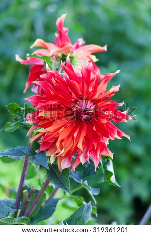 Beautiful red dahlia flower in the garden - stock photo
