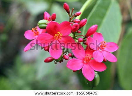 beautiful red decorative flower Jatropha Edged