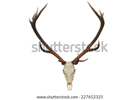 beautiful red deer hunting trophy ( Cervus elaphus ), isolated over white background - stock photo
