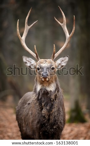 Beautiful Red Deer in forest - stock photo