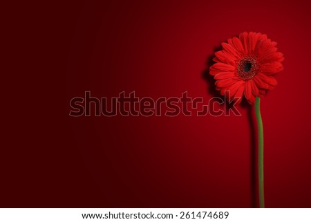 Beautiful Red Flower with green stem on red color background with dew drop on petals, A romantic floral background - stock photo