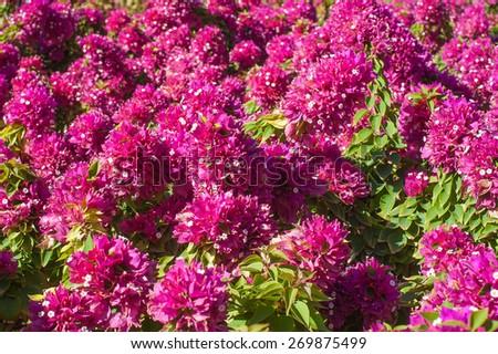 Beautiful red flowering bushes bougainvillea closeup. - stock photo