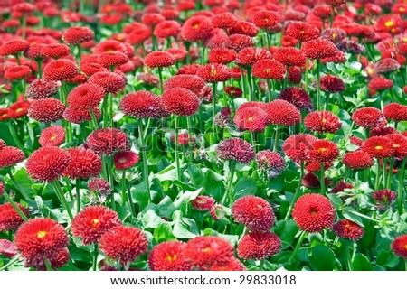Beautiful red flowers garden - stock photo