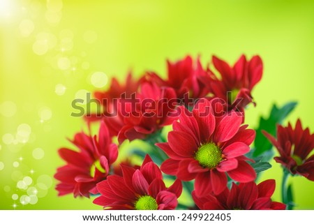 beautiful red flowers of chrysanthemum on green background