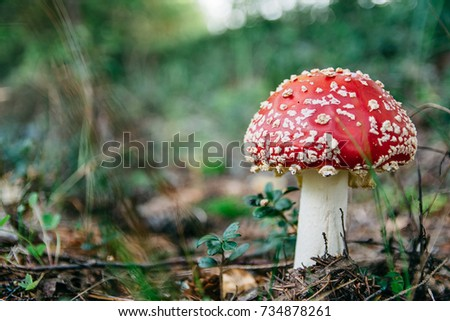 Beautiful red fly agaric in fir forest