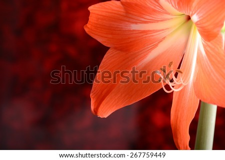 beautiful red gladiolus close up, flowers close up, nature concept - stock photo
