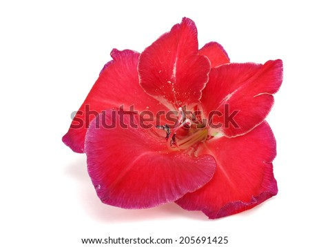 Beautiful red gladiolus flower on a white background