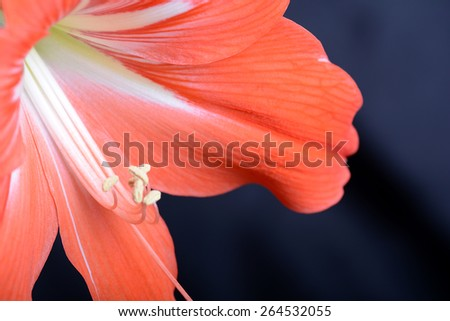 beautiful red gladiolus ob black background close up - stock photo
