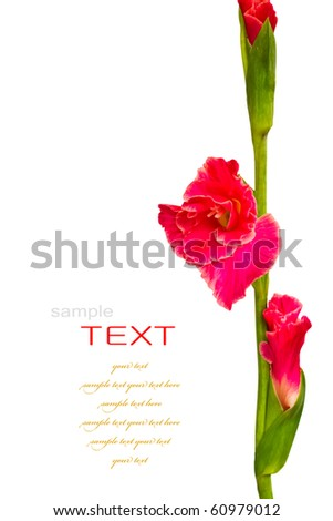 Beautiful Red Gladiolus on white background - stock photo