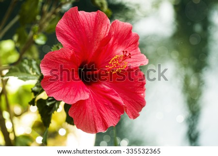 Beautiful red Hibiscus - stock photo