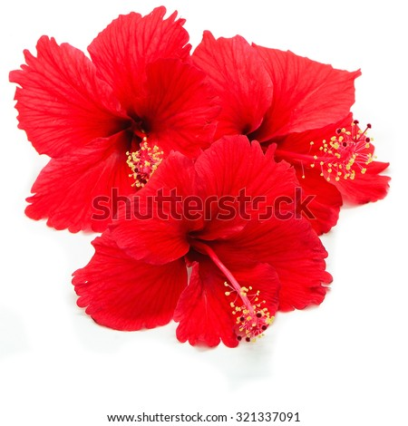 Beautiful red Hibiscus flower isolated on a white background - stock photo