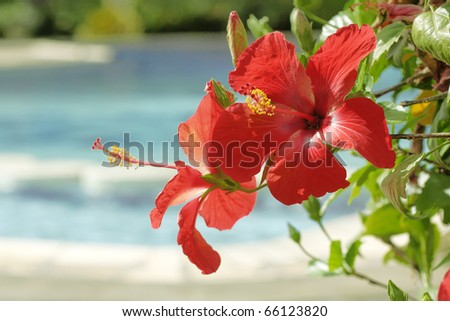 Beautiful red Hibiscus flowers in front of swimming-pool - stock photo