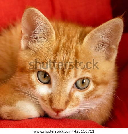 Beautiful red hired kitten on red background - stock photo