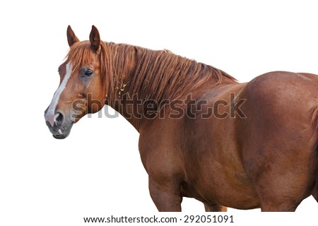 Beautiful red horse on white background. - stock photo