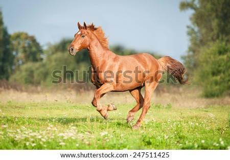 Beautiful red horse running on the pasture in summer - stock photo