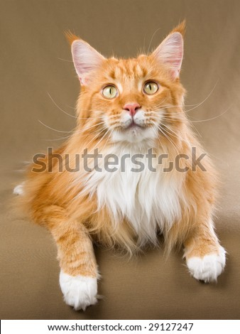 Beautiful red Maine Coon with white - stock photo