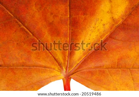 beautiful red maple leaf background with close up details