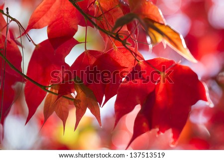 Beautiful Red Maple Leaves in Autumn - stock photo