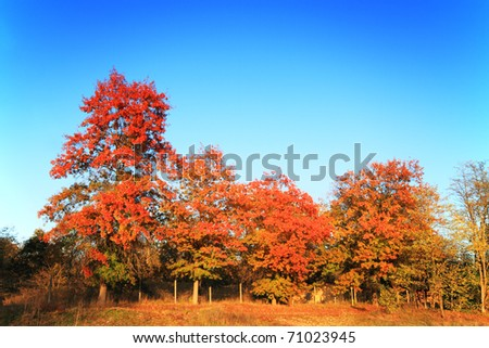 Beautiful red maple trees in fall season over blue sky