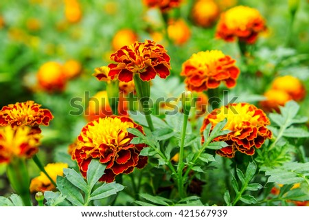 Beautiful red Marigold flowers in the green park garden spring summer day.