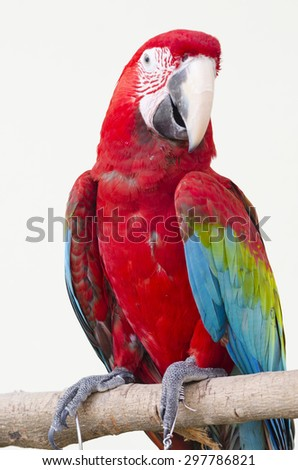 Beautiful red pet parrot macaw - stock photo