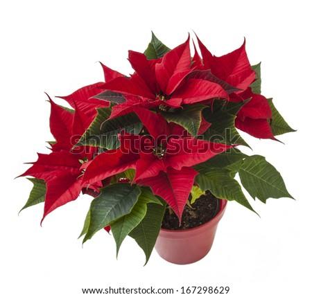 beautiful red poinsettia  (Euphorbia pulcherrima) in flowerpot isolated on white - stock photo