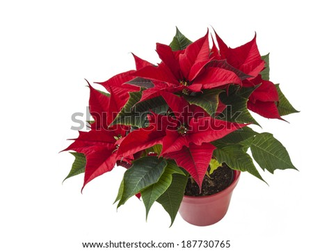 beautiful red poinsettia  (Euphorbia pulcherrima) in flowerpot isolated on white