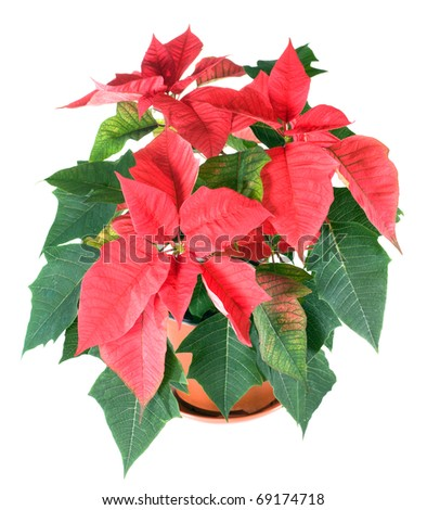 Beautiful red poinsettia  isolated on white. That red plant - symbol of Christmas.