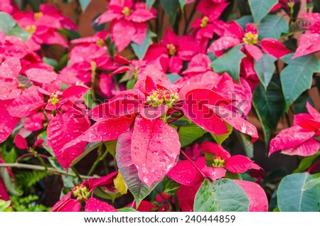 Beautiful red poinsettia with water droplets. - stock photo