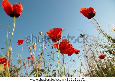 Beautiful red poppies on the blue sky background - stock photo