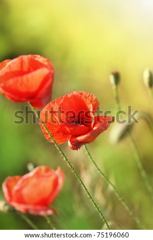 Beautiful red poppies on the summer field - stock photo