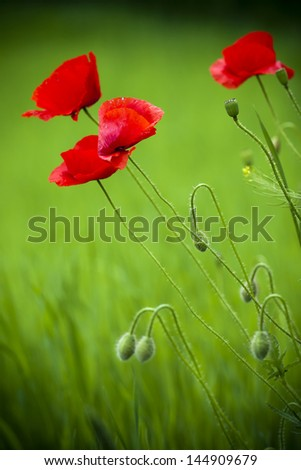 Beautiful red poppy in the green field. - stock photo