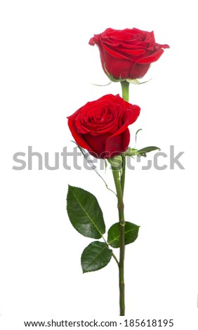 beautiful red rose  - stock photo