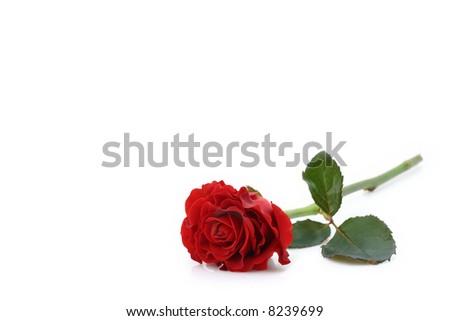 beautiful red rose - stock photo