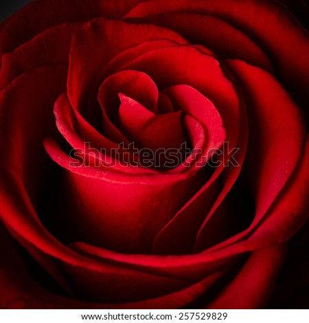 Beautiful red rose background - stock photo