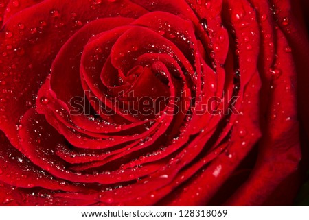 Beautiful Red Rose Center