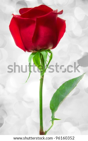 Beautiful red rose close-up on holiday lights - stock photo