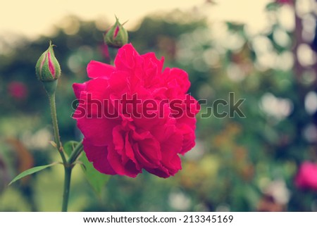 Beautiful Red rose  flowers vintage style - stock photo
