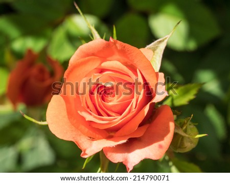 Beautiful red rose in a garden on sunny day - stock photo