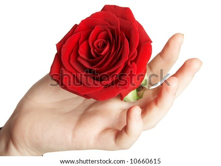 beautiful red rose in hand - stock photo